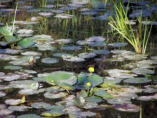 lilypads on pond